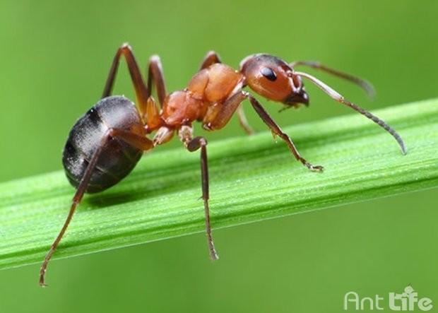 Краткое ознакомление с муравьями и муравьиными фермами – Формикарями.
