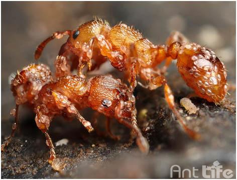 Борьба с клещами у муравьев